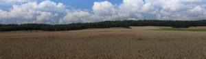 Wheat field before harvest.